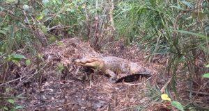 a-female-croc-guarding-its-nest-696x522
