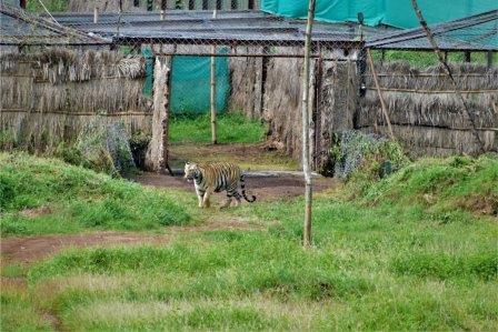 Tigress-Sundari