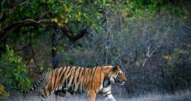 Tigress-Sundari-in-Satkosia-660x330
