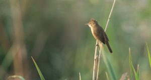 Clamorous Reed Warbler D41_4405