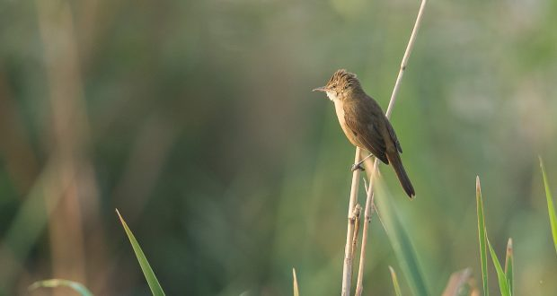 Clamorous Reed Warbler D41_4405