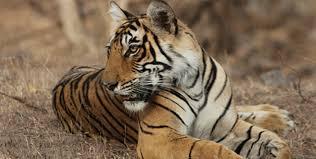 tigrer